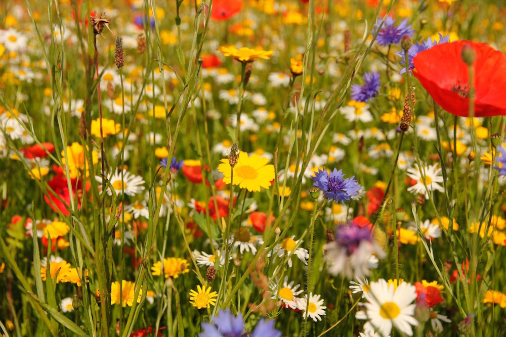 Sowing wildflower seeds in your garden