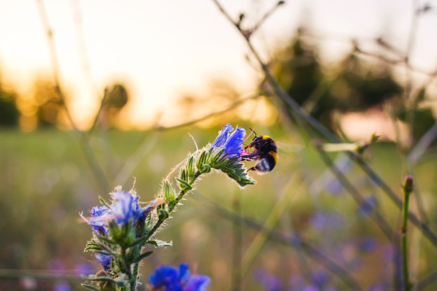Bumblebee pollinate or collect nectar on blue flower at golden sunlight in sunset time